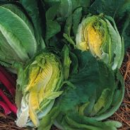 Lettuce Little Gem - Cos Type - 10 grams - Bulk Discounts Available